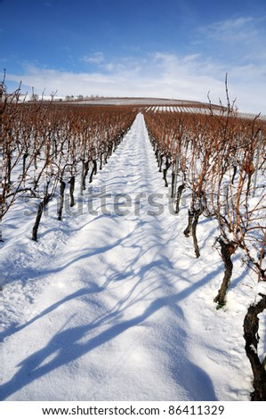 Vineyard at winter. Rhine valley, Germany