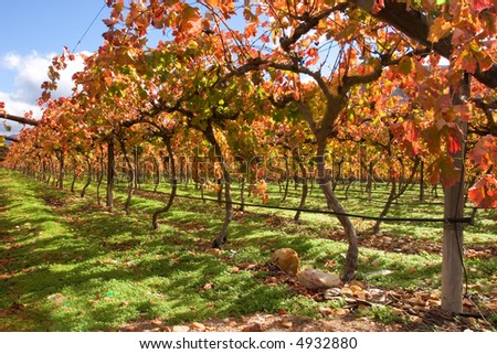 Vineyard, Cape Town area, South Africa
