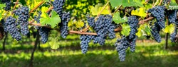 Vineyard during harvest season with ripe wine grapes as panorama background