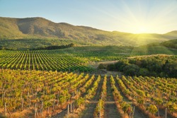 Vineyard during sunset. Agriculture and nature landscape.