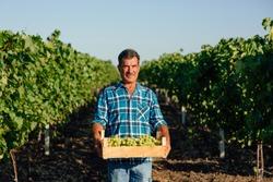 vineyard farmer harvesting grapes in vineyard during wine harvest season in autumn. The harvesting. Farm winery. Grape Picking. man winemaker and vineyard owner. Family small business. Rural lifestyle