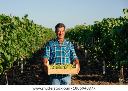 vineyard farmer harvesting grapes in vineyard during wine harvest season in autumn. The harvesting. Farm winery. Grape Picking. man winemaker and vineyard owner. Family small business. Rural lifestyle Foto stock ©
