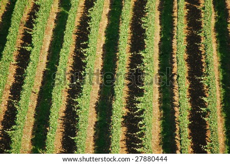 Vineyard from above in the summer
