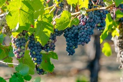 Vineyard grapes hanging in bunches with green sunlit leaves, unripe, ripening, and ripe grapes, green, red, purple coloring. Northern California winery grapevines.