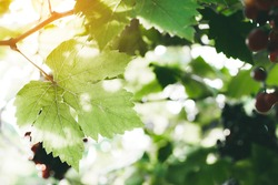 Vineyard grapes hanging in bunches with green sunlit leaves, unripe, ripening, and ripe grapes