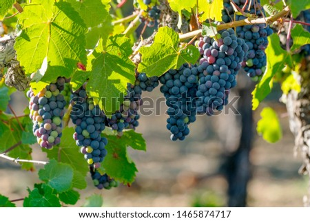 Vineyard grapes hanging in bunches with green sunlit leaves, unripe, ripening, and ripe grapes, green, red, purple coloring. Northern California winery grapevines.  #1465874717