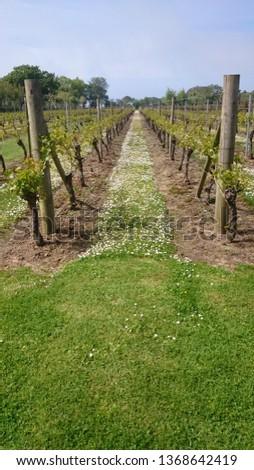 vineyard grapevines Jersey  #1368642419