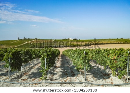 Vineyard in Andalusia, Spain, sweet pedro ximenes or muscat, or palomino grape plants, used for production of jerez, sherry sweet and fino wines #1504259138