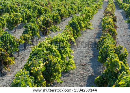 Vineyard in Andalusia, Spain, sweet pedro ximenes or muscat, or palomino grape plants, used for production of jerez, sherry sweet and fino wines #1504259144
