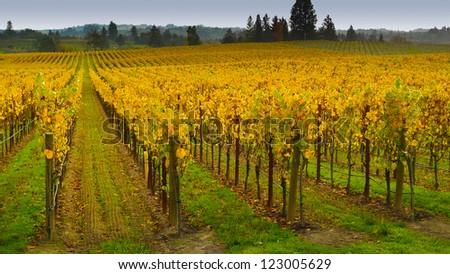 Vineyard in autumn, Napa Valley, California #123005629