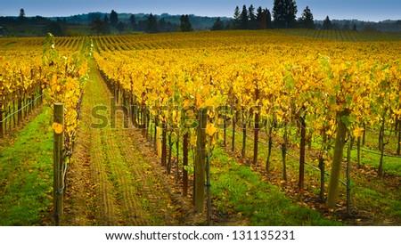 Vineyard in autumn, Napa Valley, California