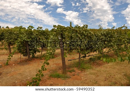 Vineyard in California with Blue Sky and Grapes on the Vine - stock photo