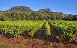 Vineyard in Cevennes Languedoc Roussillon area in bright colors and rocky outcrops in the background