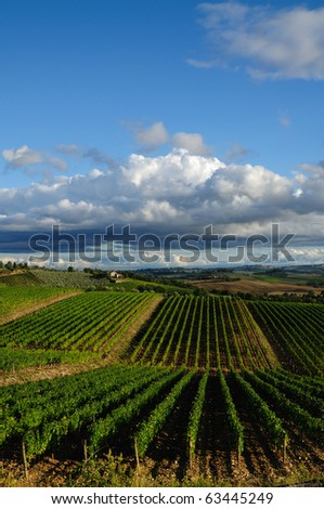 Vineyard in Chianti district (Tuscany, Italy)