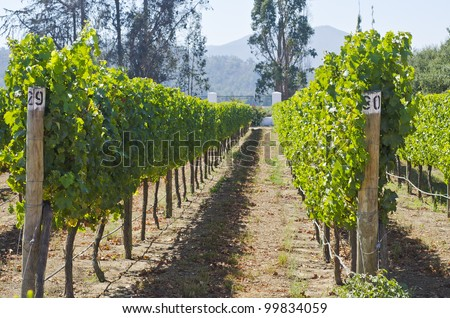 Vineyard in Chile - stock photo