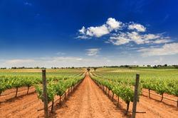 vineyard in Corral de Almaguer, Toledo,Castilla-La Mancha, Spain