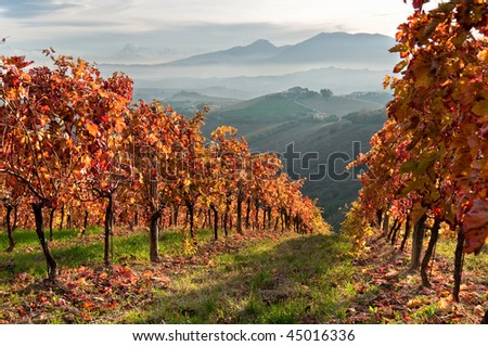 Vineyard in fall in mountain - stock photo