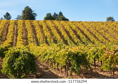 Vineyard in Fall, Sonoma County, California, USA