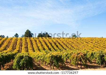 Vineyard in Fall, Sonoma County, California, USA