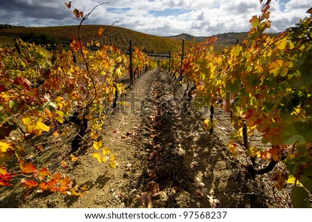 Vineyard in full autumn colors at Douro valley, Portugal