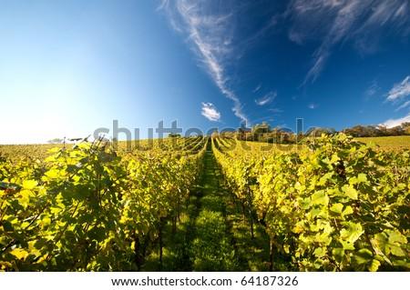 Vineyard in Germany Stockfoto ©