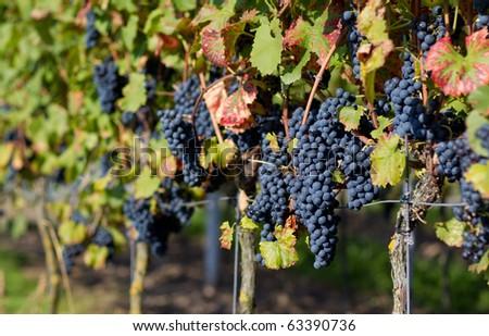 Vineyard in Heidelberg, Germany