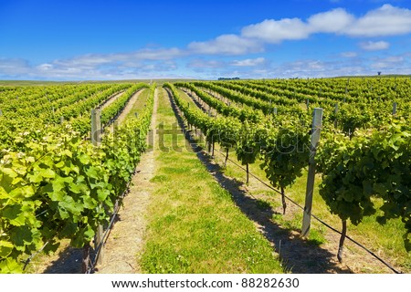 Vineyard in Marlborough wine region of New Zealand