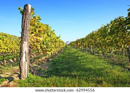 Vineyard in Melnik in autumn, Czech Republic
