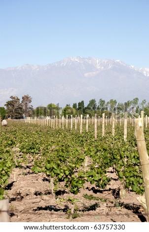 vineyard in Mendoza, Argentina