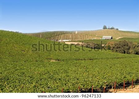 vineyard in Napa country, California