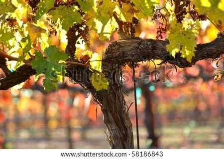 Vineyard in Napa Valley California in Fall Autumn