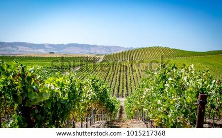 Vineyard in Napa Valley, California. Photo taken in 2017. Stock fotó ©