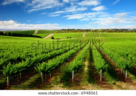 Vineyard in One Tree Hill, South Australia - stock photo