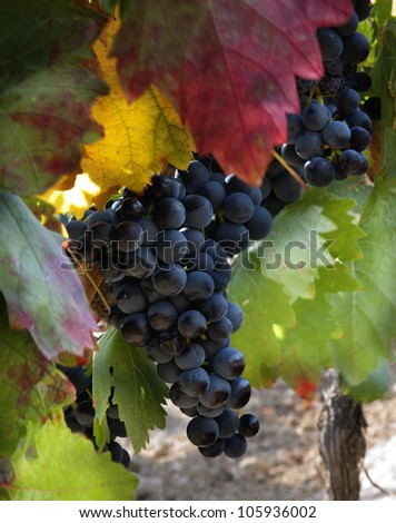 VIneyard in September (La RIoja,SPain)