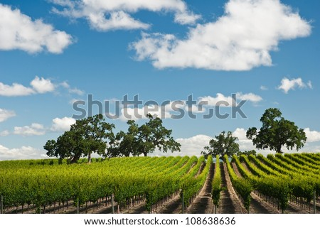 Vineyard in spring, Sonoma County, California, USA