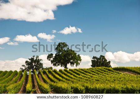 Vineyard in spring, Sonoma County, California, USA
