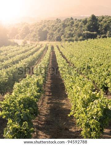 Vineyard in sunset.