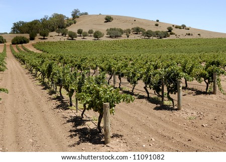 Vineyard in the Barossa Valley in Australia