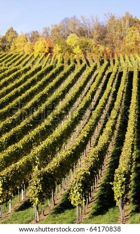 Vineyard in the fall of Stuttgart, Germany