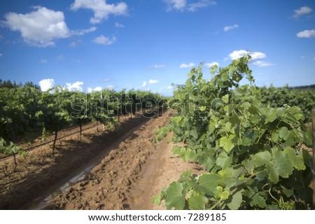 Vineyard in the Hunter Valley NSW Australia