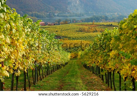 Vineyard in the mountains of Austria, Danube Valley