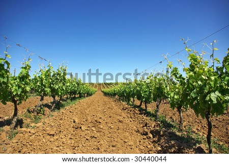 Vineyard in the portuguese field.