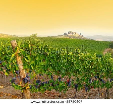Vineyard in Tuscany, Italy at dusk