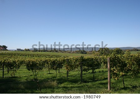 Vineyard in Virginia.