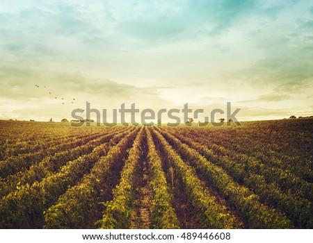 vineyard landscape. Autumn grapes harvest