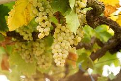 vineyard morning grapes ripe in autumn season Zitsa Greece