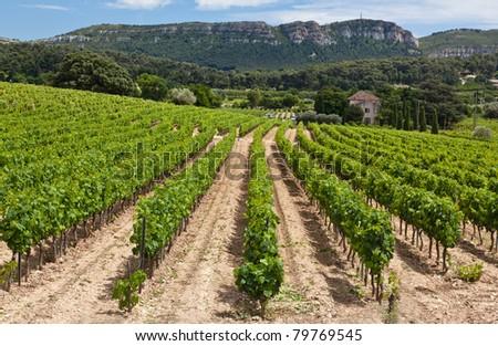 Vineyard near Cassis