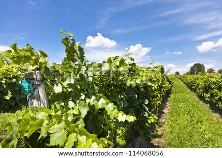Vineyard of Pinot Blanc grape