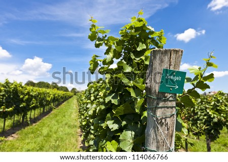 Vineyard of Zweigelt grape