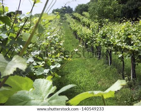 vineyard on the hills of Veneto, Italy